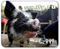 Бизнес на селе: Разведение травоядных вислобрюхих свиней