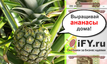Бизнес идея выращивания и продажи ананасов