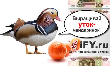 Бизнес идея выращивания уток-мандаринок