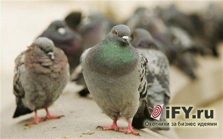 Бизнес идея разведения голубей